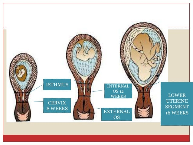 3 physiolosical changes during pregnancy