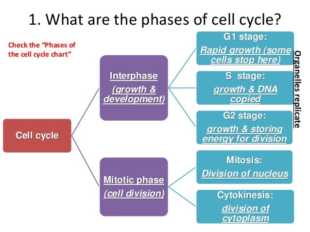 An overview of the stages of the cell cycle
