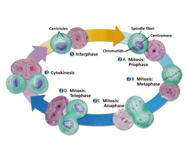ch 3 1 cell cycle overview plant cell cycle diagram labeled Plant Cell Model Diagram