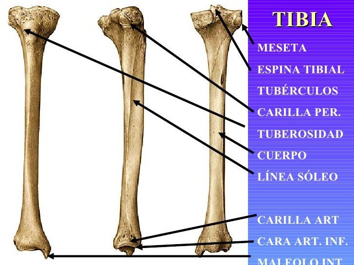 Excepcional Hueso De La Tibia Componente - Anatomía de Las ...