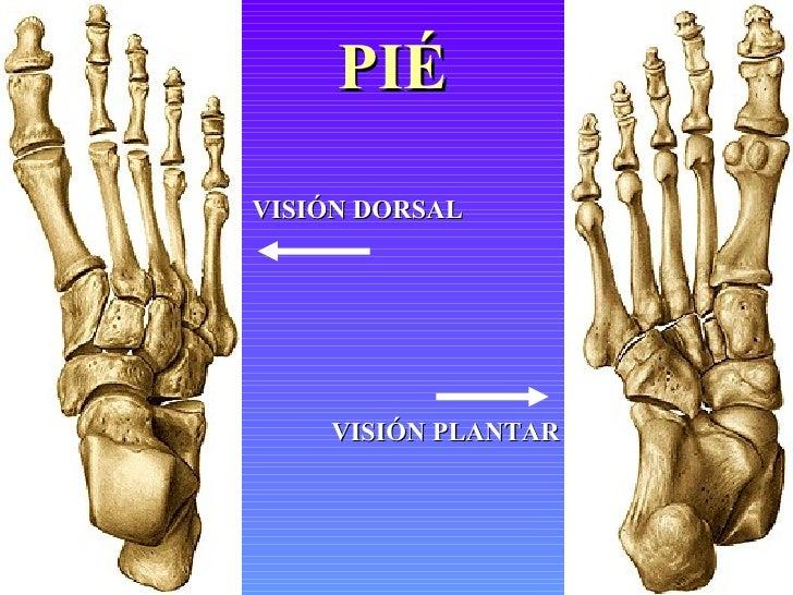 Vistoso Anatomía Hueso Del Pie Ornamento - Anatomía de Las ...