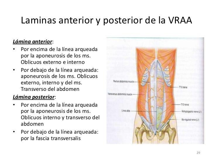 3.1 pared abdominal anterior