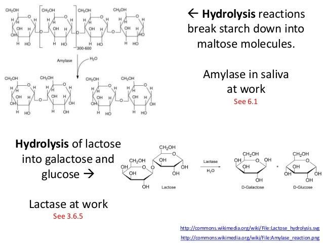 the starch hydrolysis of amylase biology essay Condensation and hydrolysis and their importance in biology hydrolysis of carbohydrates hydrolysis is used to break the glycosidic bond, releasing monosaccharides from a disaccharide  salivary amylase hydrolyse starch to maltose mineral salts in saliva maintain ph around neutral- optimum ph for salivary amylase.