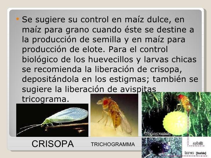 Resultado de imagen para CONTROL BIOLOGICO DEL MAIZ