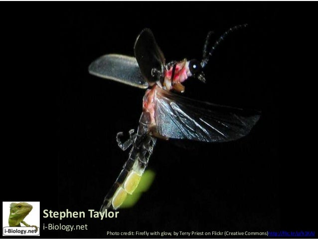 Stephen Taylor i-Biology.net  Photo credit: Firefly with glow, by Terry Priest on Flickr (Creative Commons)http://flic.kr/...