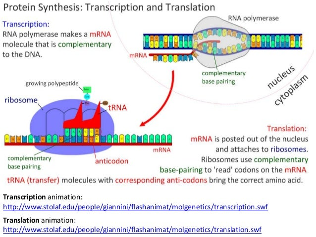 Protein Synthesis: 3.5 Transcription & Translation (SL)