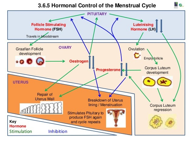3.6.5.h hormonal control of the menstrual cycle a1 poster