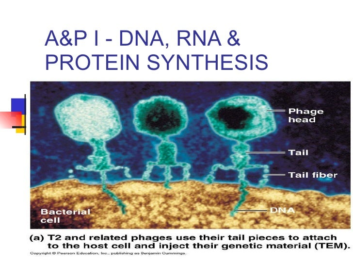 A&P I - DNA, RNA & PROTEIN SYNTHESIS