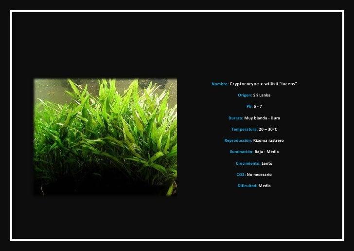 3 archivo de plantas de acuario for Plantas de acuario