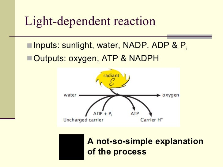 Light Dependent Reaction Light Reaction Of Photosynthesis