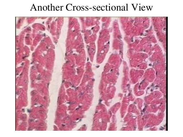 3. cardiac muscle tissue