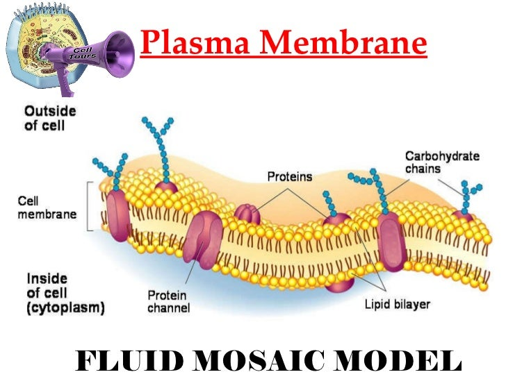 describe the fluid mosaic model of a plasma membrane Expression levels of plasma membrane proteins in tissue  in fact, the fluid  mosaic membrane model describes the asymmetric distribution and mobility  capacity.