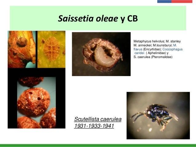 Saissetia oleae y CB Scutellista caerulea 1931-1933-1941 Metaphycus helvolus; M. stanley M. anneckei; M.lounsburyi; M. fla...