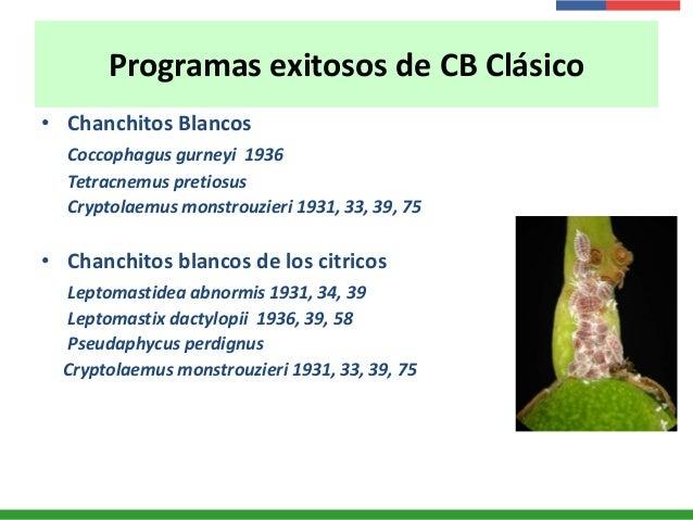 Programas exitosos de CB Clásico • Chanchitos Blancos Coccophagus gurneyi 1936 Tetracnemus pretiosus Cryptolaemus monstrou...