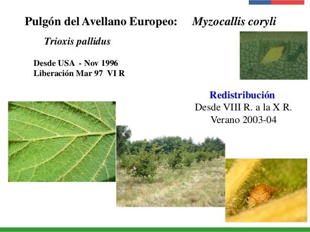 Pulgón del Avellano Europeo: Myzocallis coryli Trioxis pallidus Desde USA - Nov 1996 Liberación Mar 97 VI R Redistribución...
