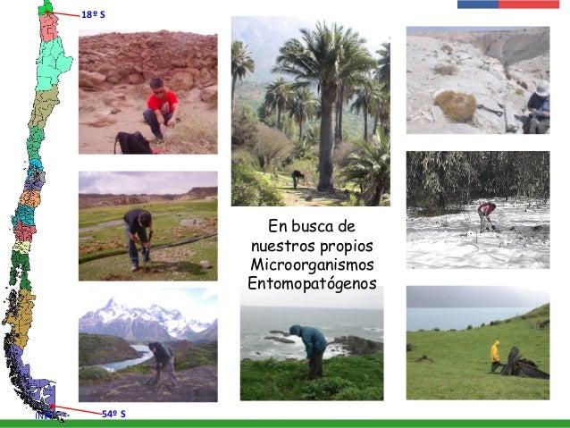 En busca de nuestros propios Microorganismos Entomopatógenos 18º S 54º SINIA