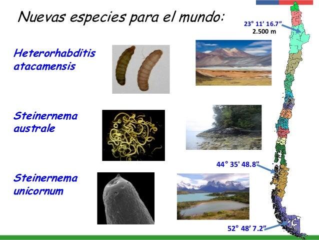 "Nuevas especies para el mundo: Steinernema australe Steinernema unicornum 44° 35' 48.8"" Heterorhabditis atacamensis 2.500 ..."