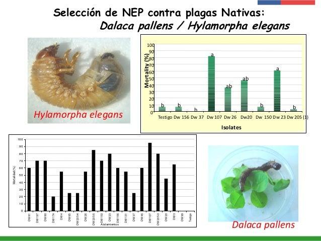 Selección de NEP contra plagas Nativas: Dalaca pallens / Hylamorpha elegans 0 10 20 30 40 50 60 70 80 90 100 DW81 DW197 DW...