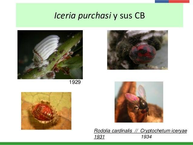 Iceria purchasi y sus CB Rodolia cardinalis // Cryptochetum iceryae 1931 1934 1929