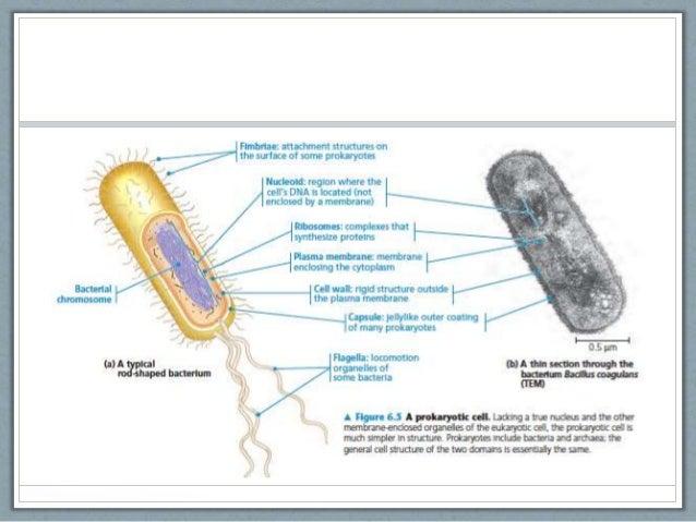 Eukaryotic vs Prokaryotic Cells – Prokaryotes Vs Eukaryotes Worksheet