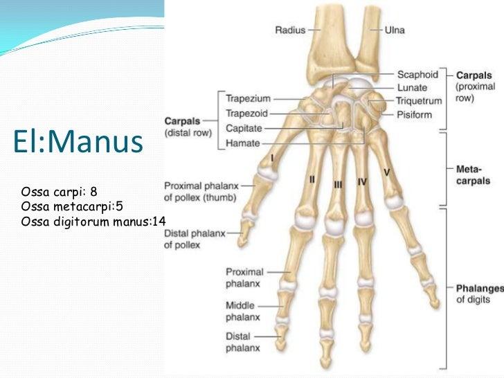Hareket Sistemi Kemik Ve Eklemler A synchondrosis (or primary cartilaginous joint) is a type of cartilaginous joint where hyaline cartilage completely joins together two bones. hareket sistemi kemik ve eklemler