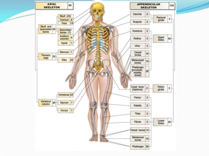 Hareket Sistemi Kemik Ve Eklemler Eklem, iki veya daha fazla kemiğin, vücut bölümlerinin hareket edebilmesini sağlamak maksadıyla birleştiği kısıma verilen ad. hareket sistemi kemik ve eklemler