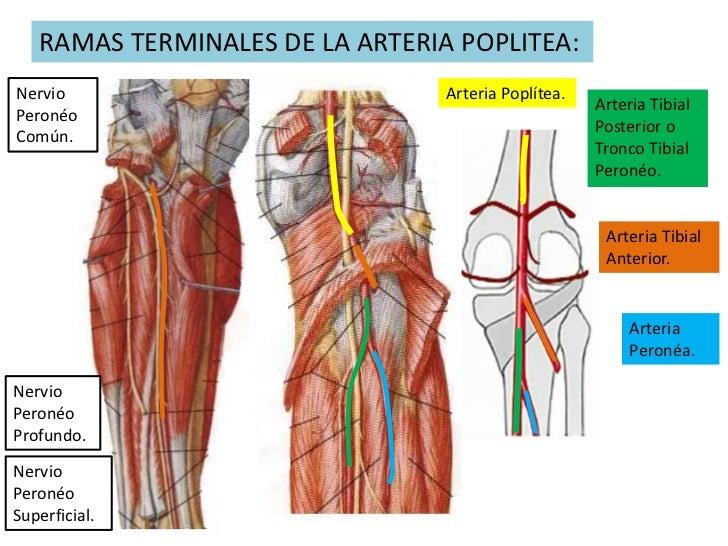 Fantástico Anatomía De La Arteria Poplítea Cresta - Anatomía de Las ...