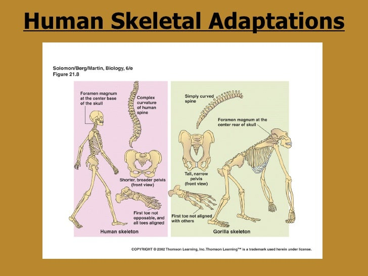 3. human evolution, Skeleton