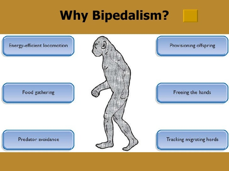 evolution of bipedality in humans essay View human ancestor fossils and human bipedality from mktg 50 at chabot college human ancestor fossils and bipedality in human evolution there are various potential.