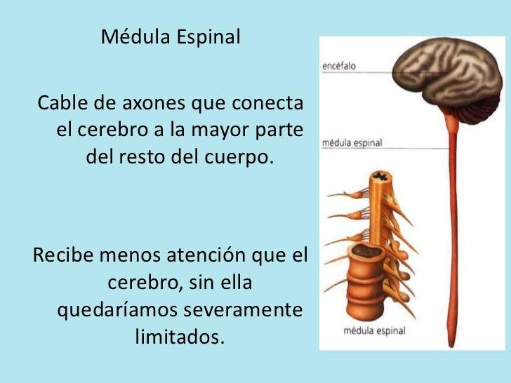 3. medula espinal y snp