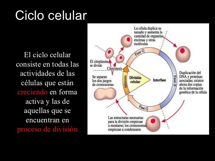 Ciclo celular El ciclo celular consiste en todas las actividades de las células que están  creciendo  en forma activa y la...