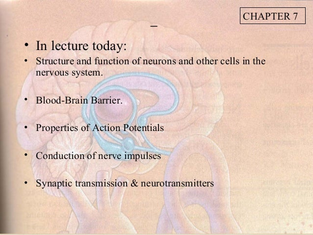 CHAPTER 7• In lecture today:• Structure and function of neurons and other cells in the  nervous system.• Blood-Brain Barri...