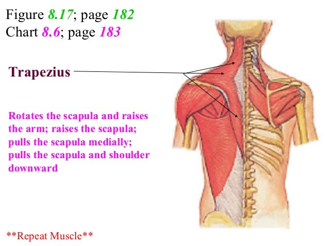 Figure 8.17; page 182 Chart 8.6; page 183 Function? ?Trapezius Rotates the scapula and raises the arm; raises the scapula;...