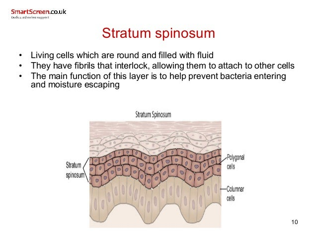 Related Keywords Amp Suggestions For Stratum Spinosum