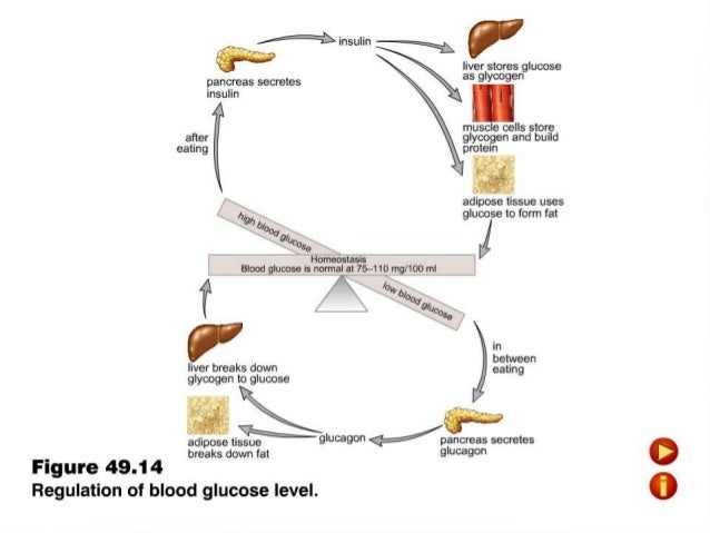 how blood sugar levels are regulated Blood sugar or blood glucose level is the amount of glucose present in the blood of a human or animal blood glucose is a tightly regulated biochemical parameter in blood.