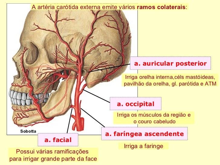 Vistoso Anatomía De La Arteria Carótida Común Modelo - Anatomía de ...