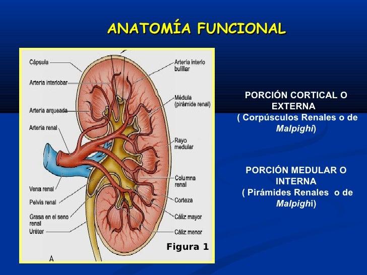 Increíble Definición Anatomía Funcional Colección de Imágenes ...