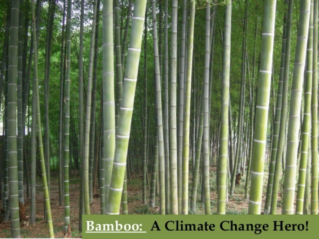 Bamboo: A Climate Change Hero!  Bamboo: A Climate Change Hero!