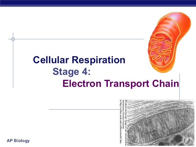 Cellular Respiration Stage 4: Electron Transport Chain  AP Biology  2006-2007