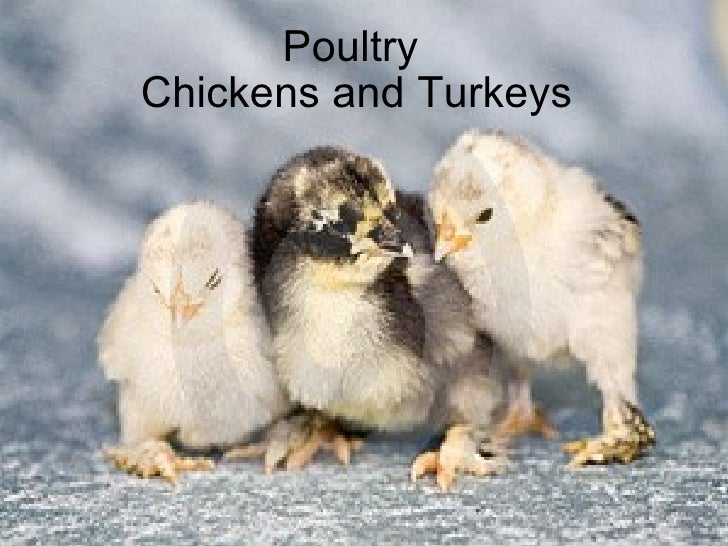 Poultry  Chickens and Turkeys