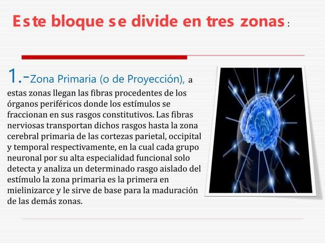 Este bloque se divide en tres zonas: 1.-Zona Primaria (o de Proyección), a estas zonas llegan las fibras procedentes de lo...