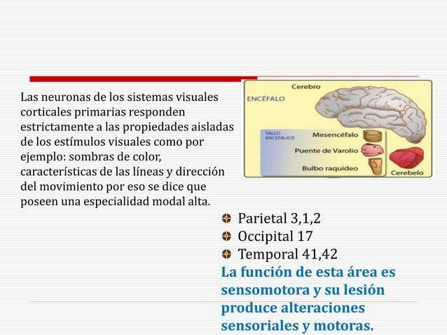 Parietal 3,1,2 Occipital 17 Temporal 41,42 La función de esta área es sensomotora y su lesión produce alteraciones sensori...