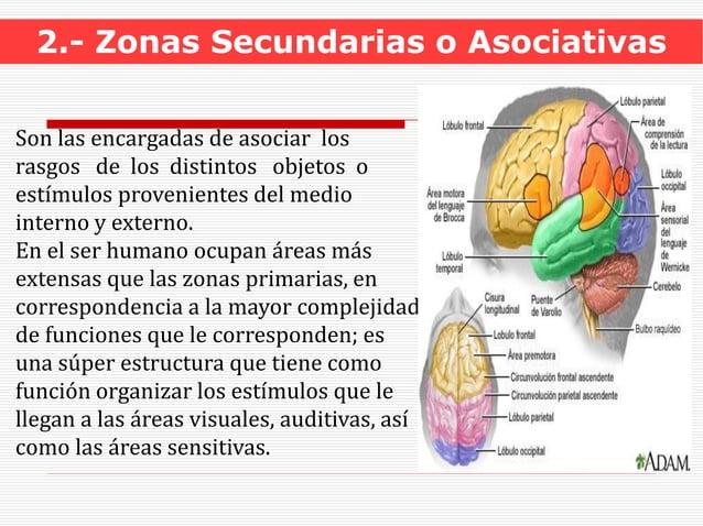 2.- Zonas Secundarias o Asociativas Son las encargadas de asociar los rasgos de los distintos objetos o estímulos provenie...