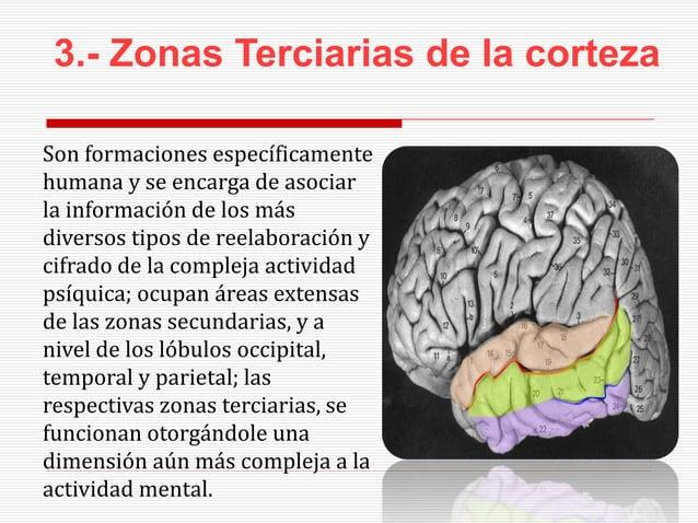 3.- Zonas Terciarias de la corteza Son formaciones específicamente humana y se encarga de asociar la información de los má...