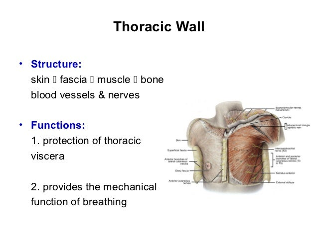 Anatomy lecture 3 thoracic wall 1 slides ccuart Gallery