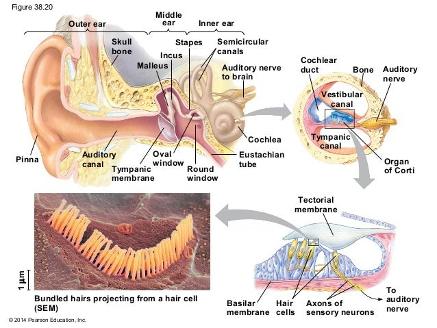 Biology in focus chapter 38 ear 83 ccuart Choice Image