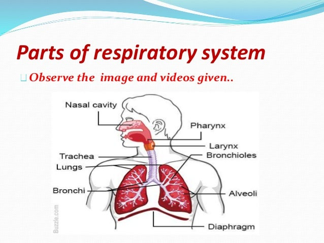 Human Respiratory System Parts And Functions