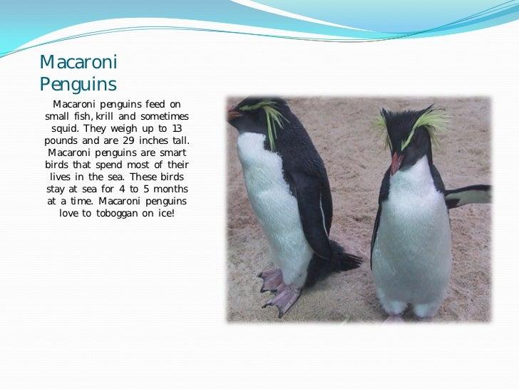 3A Penguin Research Slide 3