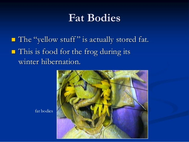 Fat Bodies In A Frog
