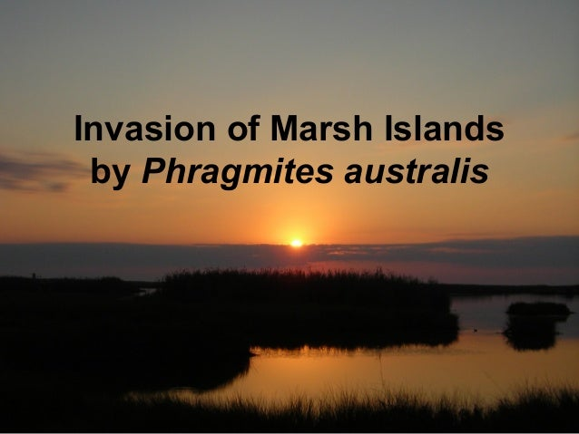Invasion of Marsh Islands by Phragmites australis